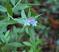 Lithospermum purpureocaeruleum Italy.jpg