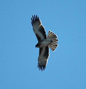 Little eagle - In flight