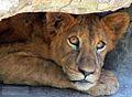 Little Lion (207778214).jpg