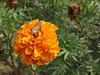 Little beautiful butterfly suck the marigold juice.JPG