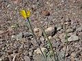 Little goldpoppy, Eschscholzia minutiflora (30072037291).jpg