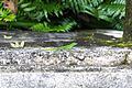 Lizard in El Yunque National Forest.jpg