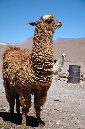 A llama in southern Bolivia