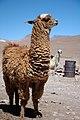 ������ ����� ����� ������ ����� 80px-Llama_de_Bolivi