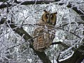 Long-eared owl 2007.jpg