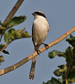 Long-tailed Shrike (Lanius schach) in Kawal, AP W IMG 1582.jpg