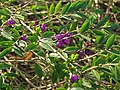 Lonicera pileata-chevrefeuille à cupule.jpg