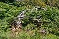 Lothar Path - Black Forest National Park - Pteridium aquilinum 01.jpg