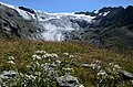 Lots of famous and protected Alpflower Edelweiss near Bricola and the Ferpecle glacier - panoramio.jpg