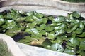Lotus Leaves at Indroda.tif