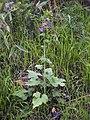 Lunaria annua - Roquebrun 02.jpg