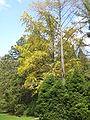 Lushan Botanical Garden-Ginkgo Tree 01.JPG