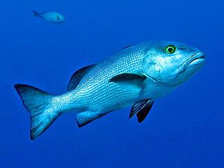 <i>Lutjanus bohar</i> species of fish
