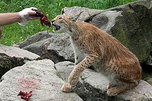 Skånes Djurpark - Feeding of the lynx
