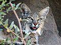 Lynx rufus. Bobcat - Flickr - gailhampshire.jpg