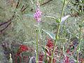 Lythrum salicaria var. tomentosum 2009-7-26 Closeup RioFresnedas ValledeAlcudia.jpg