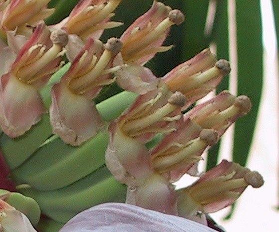 M. acuminata x balbisiana female flower detail