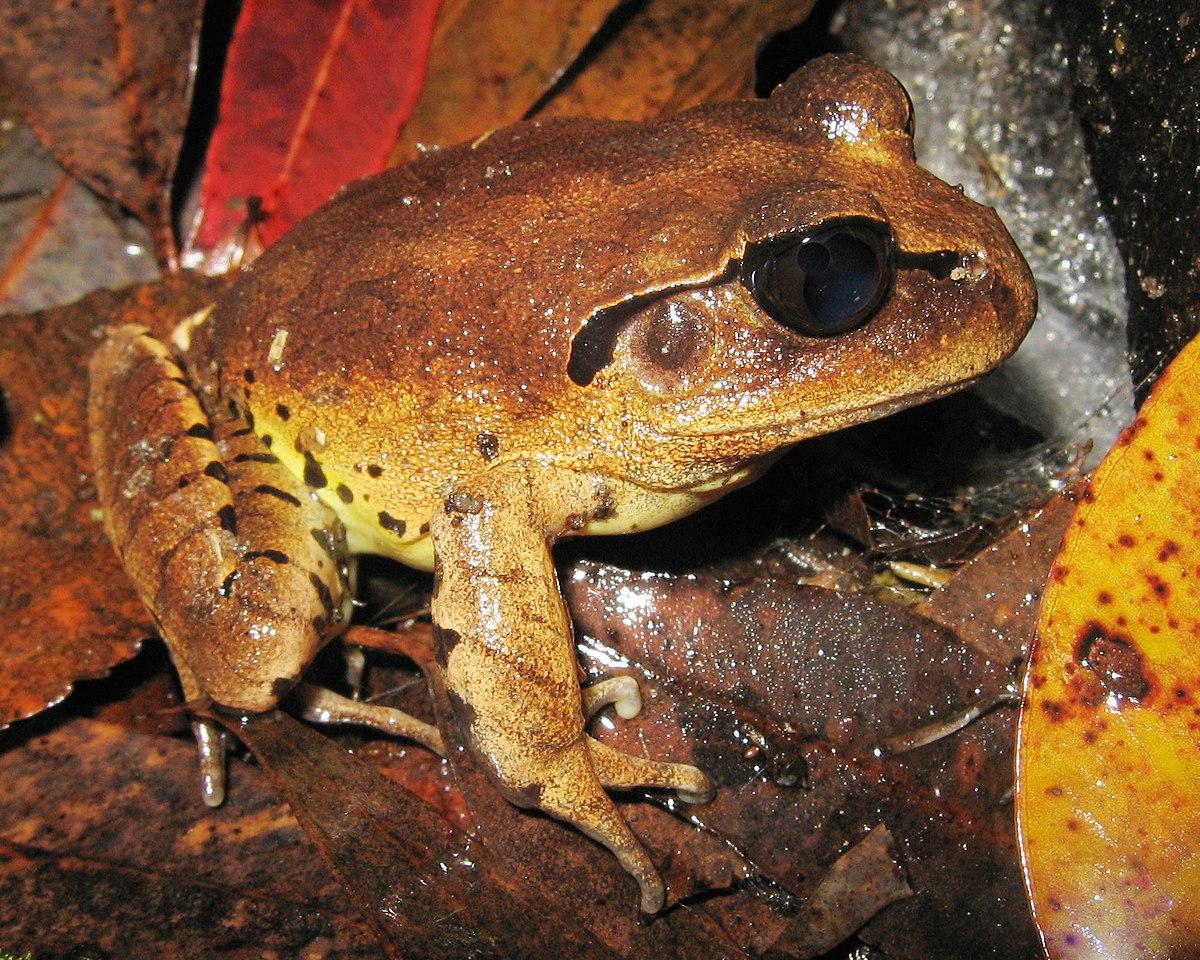 Great barred frog - Wikipedia