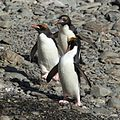 Macaroni Penguins at Cooper Bay, South Georgia (5892950114).jpg