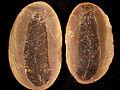 Macroneuropteris1.jpg