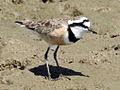 Madagascar Plover RWD.jpg