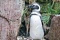 Magellanic penguin (Speniscus magellanicus).jpg
