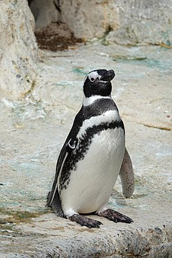 Magellanic penguin at SF Zoo.jpg