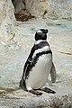 Magellanic penguin at SF Zoo.jpg