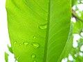 Magnolia denudata, leaf 01.jpg