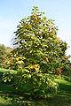 Magnolia hypoleuca ×tripetala JPG1A.jpg