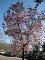 Magnolienblüte in der Garfagnana 02.jpg