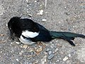 Magpie on the Track - geograph.org.uk - 1800359.jpg