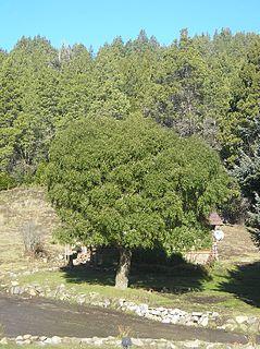 <i>Maytenus</i> genus of plants