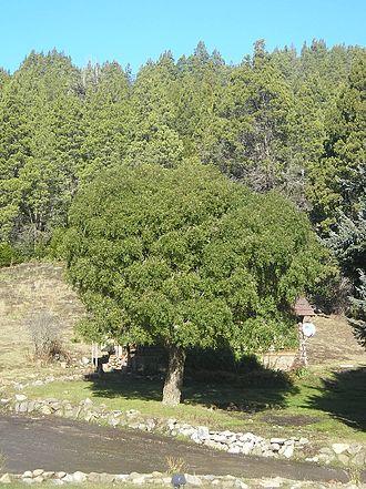 Maytenus - Maytenus boaria, a tree of temperate climates