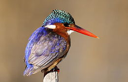 Malachite Kingfisher, Alcedo cristata at Marievale Nature Reserve, Gauteng, South Africa (21335781046).jpg