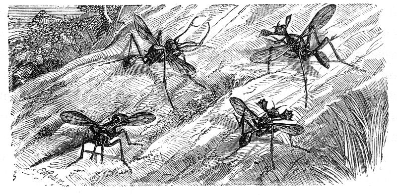 File:Malay Archipelago horned flies.jpg