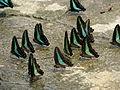 Malaysia - KL Butterfly Gardens - 12 (5208969634).jpg