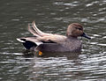 Male Gadwall 2 (6795608757).jpg