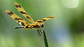 Male Graphic Flutterer wings up (16009440162).jpg