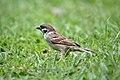 Male eurasian tree sparrow in field.jpg