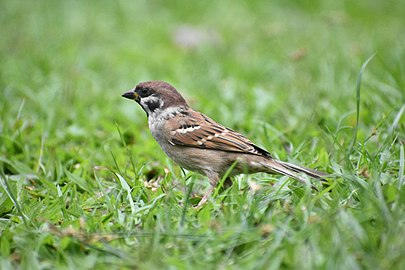 Male eurasian tree sparrow in field.jpg