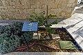 Malta - Valletta - Pope Pius V Street - Judas Tree.jpg