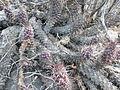 Mammillaria poselgeri (5770196339).jpg