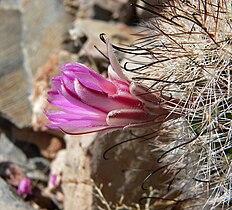 Mammillaria tetrancistra 7.jpg