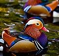 Mandarin drake ducklings in Bushy Park, Dublin.jpg
