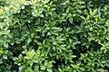Mangrove1295.jpg