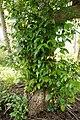 Mangrove Trumpet Tree 5127.jpg
