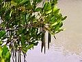 Mangroves in Thailand 2013 0652.jpg