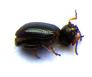 <i>Mantura</i> (beetle)