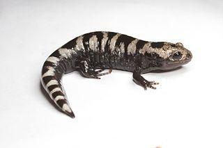 Marbled salamander species of amphibian